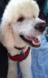Teddy Johima the standard poodle