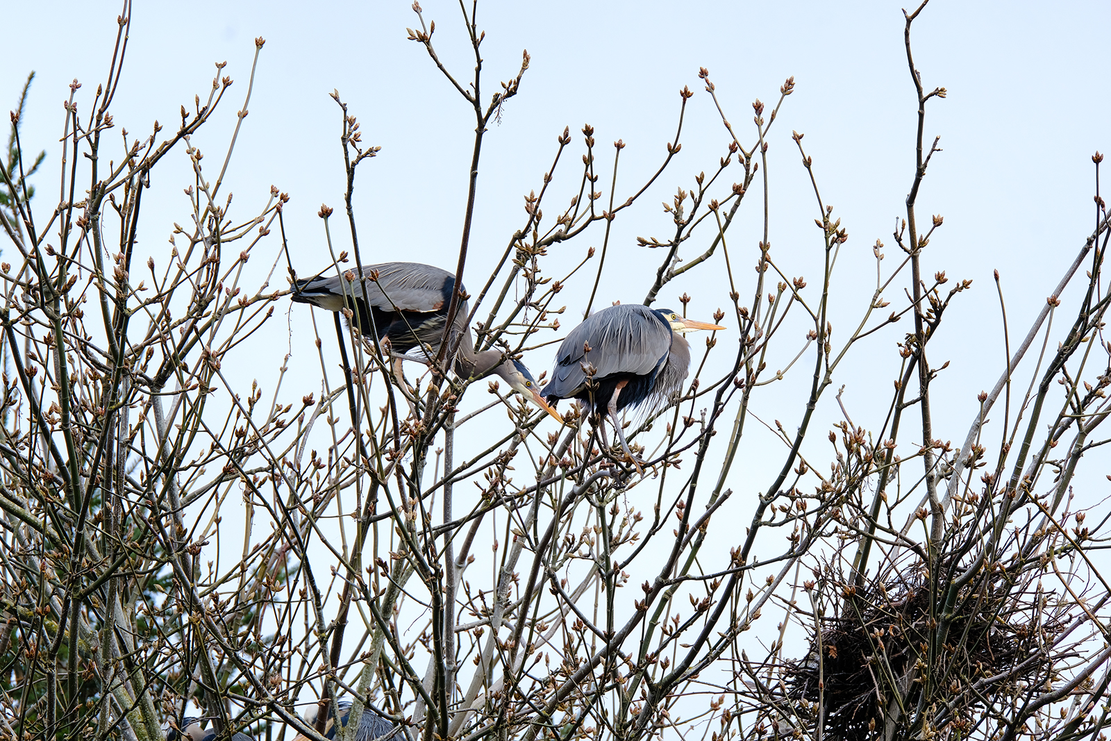 great blue heron rookery on vancouver island