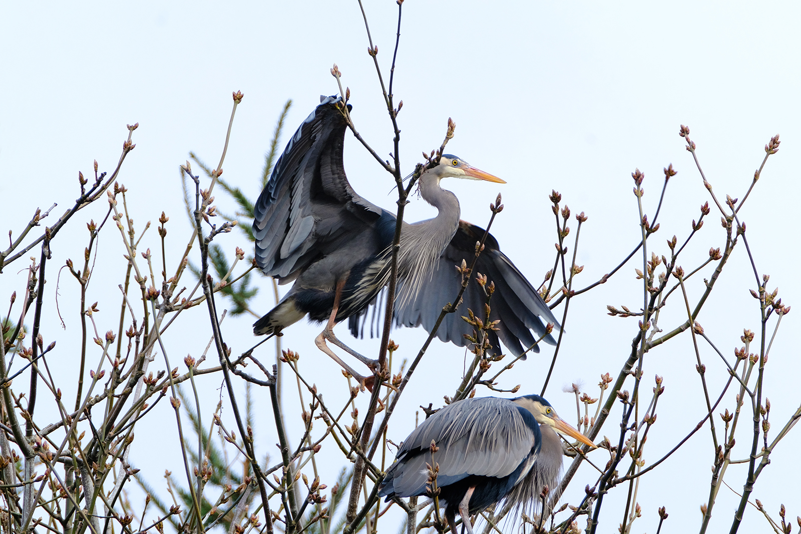 two great blue heron in treetop rookery