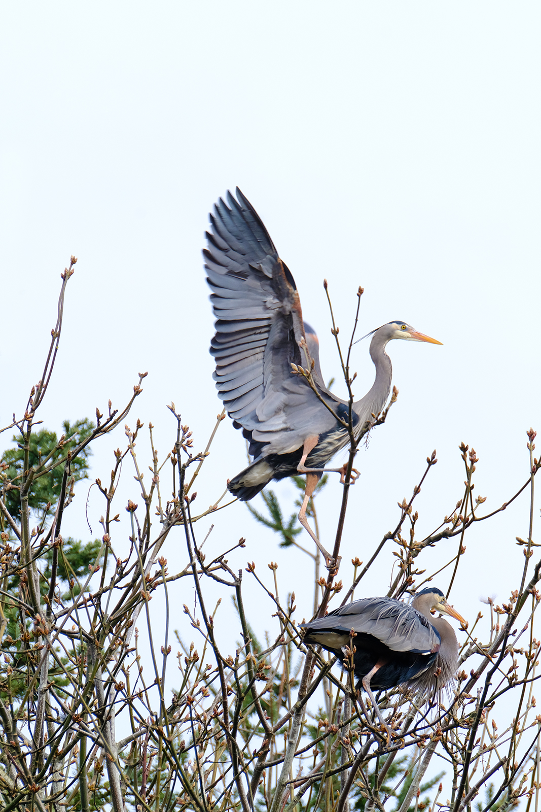 two great blue heron on treetop heron colony