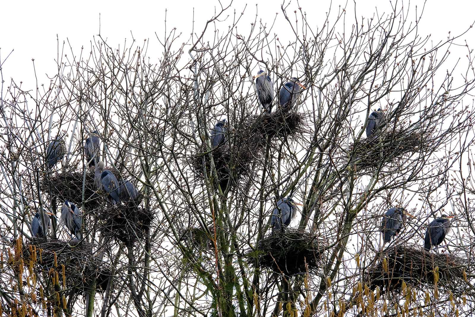 vancouver island great blue heron rookery