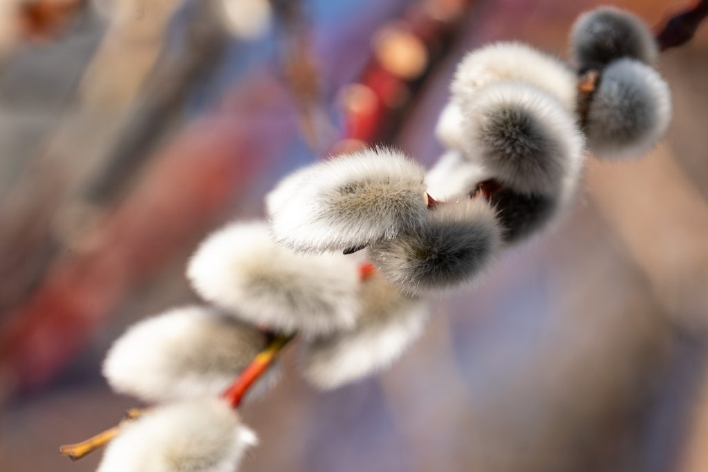 creative pussy willow image
