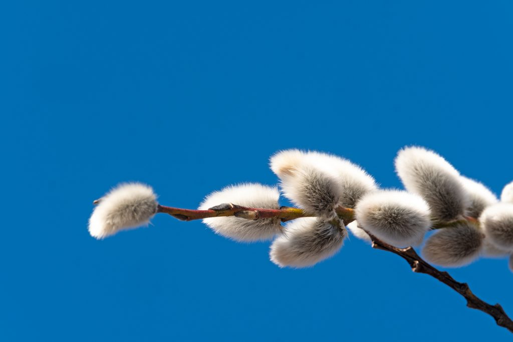 pussy willow (Salix discolor) against a solid blue sky