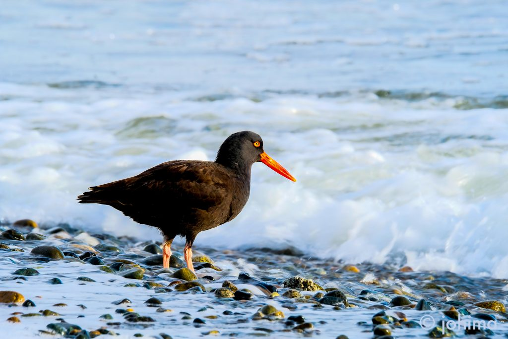 black oystercatcher in the morning sun, photographed in French Creek, Parksville, by Brenda Johima